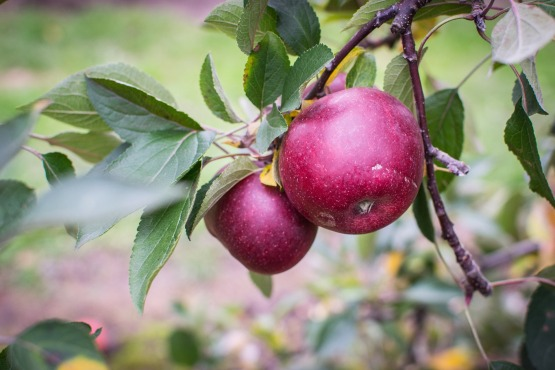 apple-1176405_1920