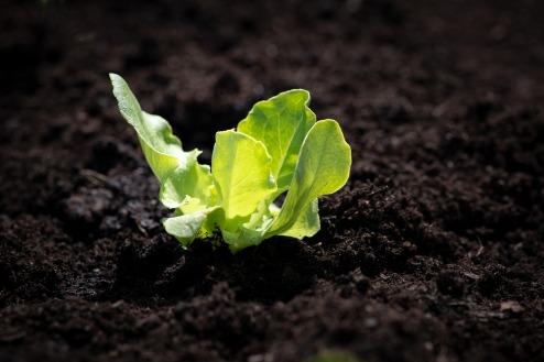 lettuce-seedling-4134906_1280