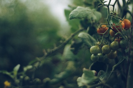 tomato-4474174_1280