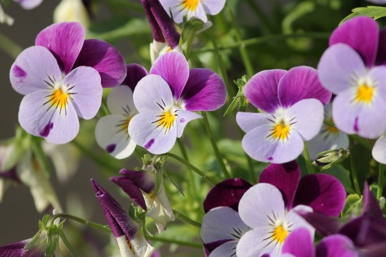 pansy-3401542_1280