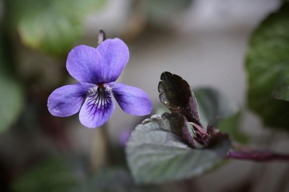 violet-4978497_1280
